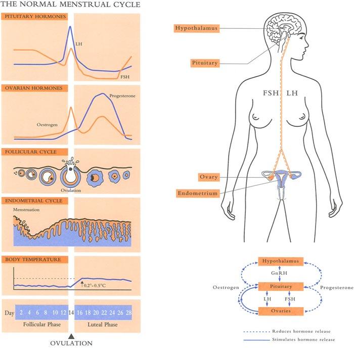 Ovulation infertility - Coastal IVF